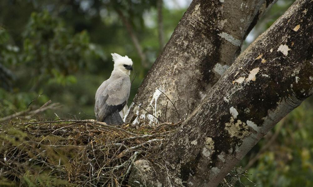 harpy eagle in tree
