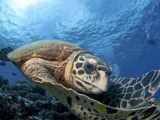 Hawksbill sea turtle looking at the camera