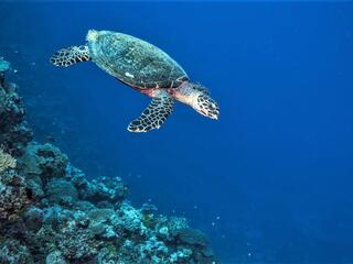 A hawksbill turtle swimming along a coral reef in bright blue waters