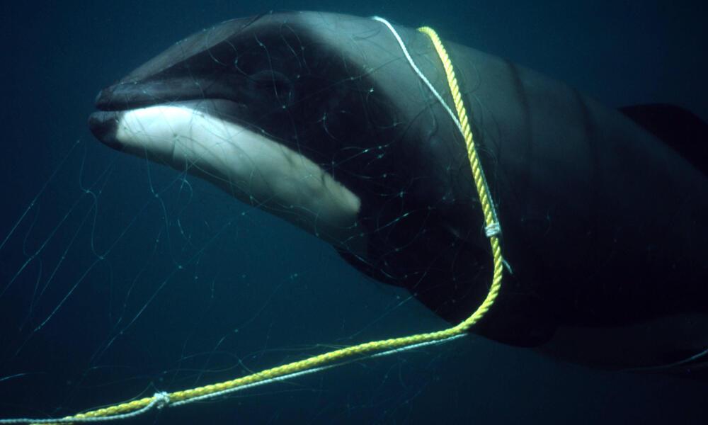 Hector's Dolphin Calf Killed in Gillnet
