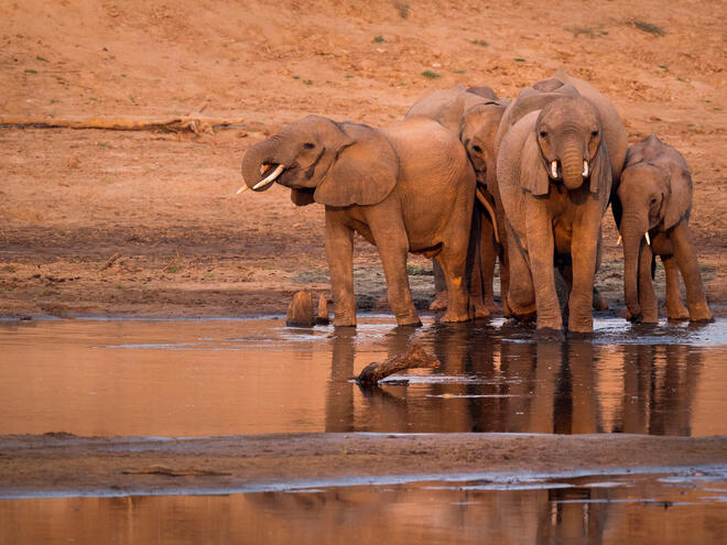 A herd of African elephants ( Loxodonta africana ) drinking from a watering hole.
