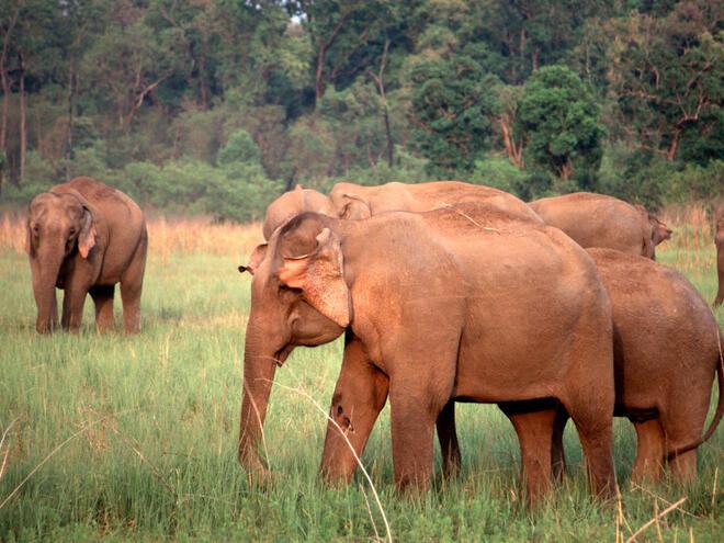 Herd of Asian elephants in Rajaji National Park, North India.