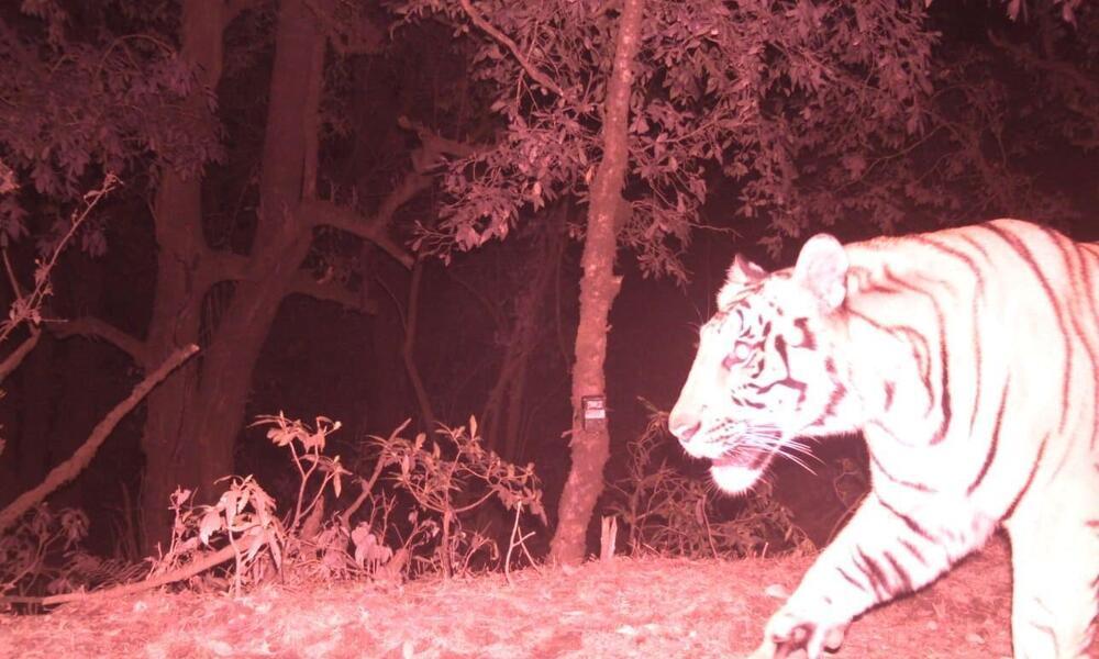 Camera trap image of tiger at high elevation