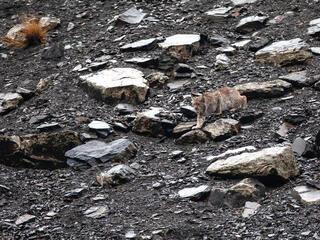 Lynx walking on rocky ground