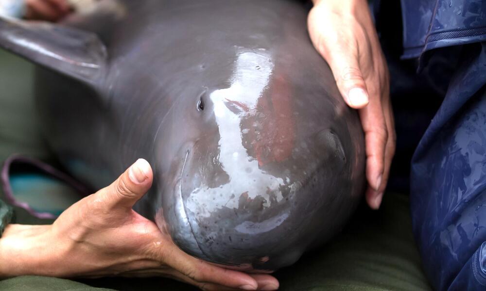 holding finless porpoise