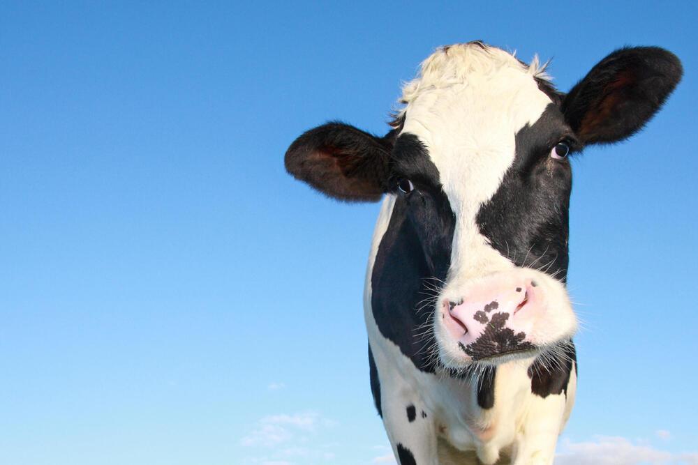 Holstein cow portrait