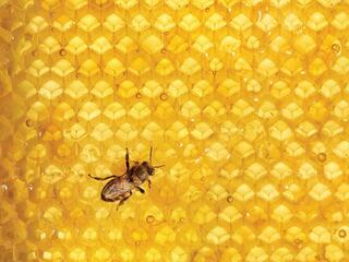 Honey comb with a bee