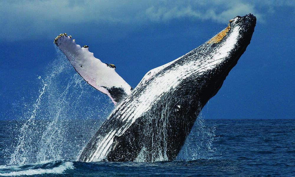 A breaching humpback whale off the coast of Madagascar