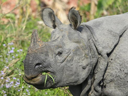 A greater one-horned rhino chews a mouthful of grass