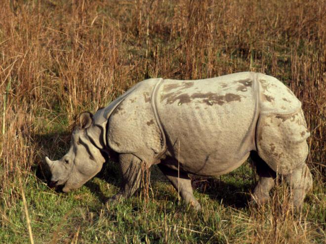 Rhinoceros unicornis Indian rhinoceros Royal Chitwan National Park, Nepal
