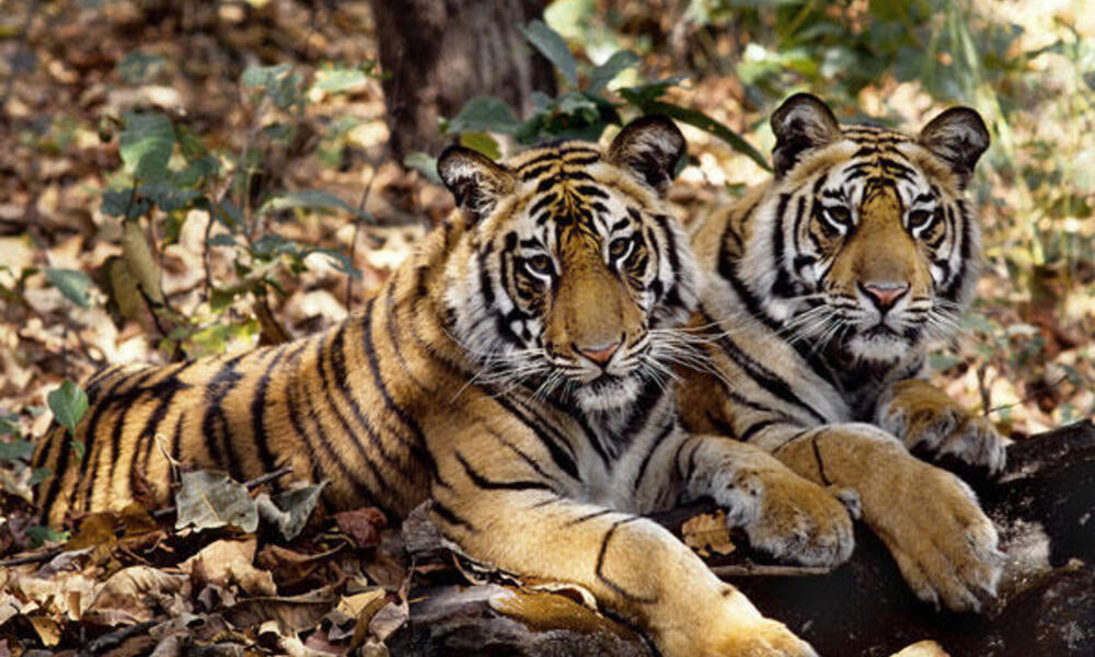 Two tigers lying side-by-side