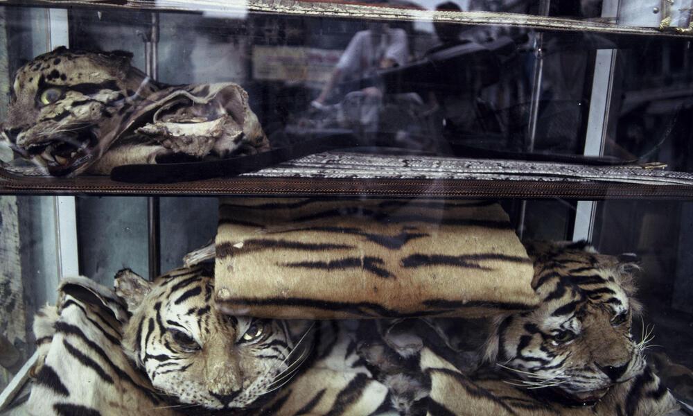 Indochinese Tiger Poaching