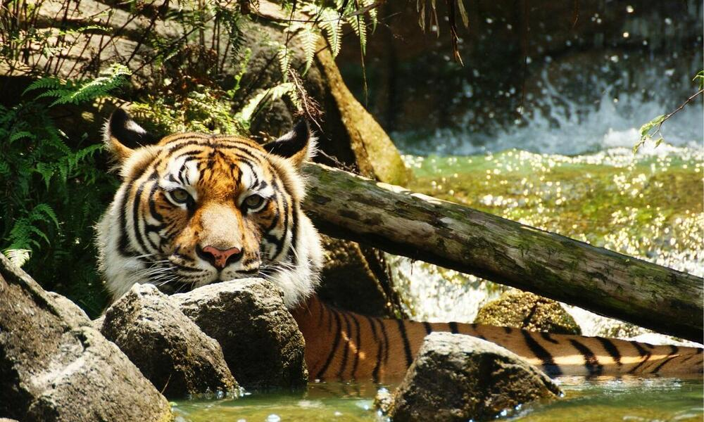 Indochinese tiger (Panthera tigris corbetti) is only found in the Greater Mekong region of Southeast Asia, including Cambodia, Myanmar, Laos, Thailand, and Vietnam.