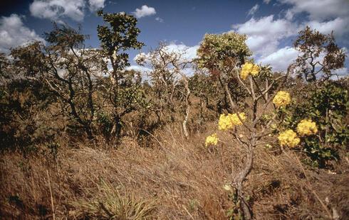 Ipe Tree in the Cerrado
