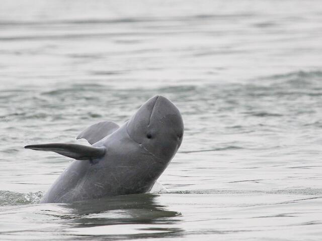 Irrawaddy Dolphin | Species | WWF