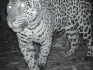 Jaguar walking close to camera