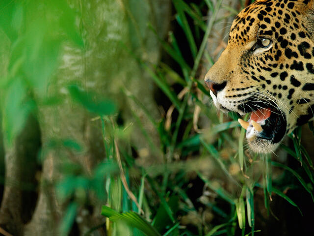 Jaguar in tall vegetation