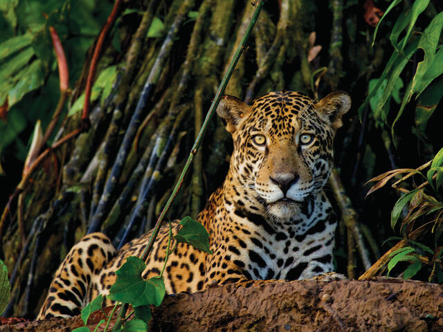 Jaguar lying down watching camera