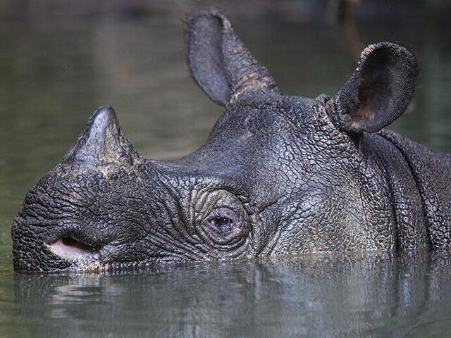 javan rhino
