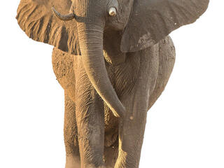 African elephant facing camera
