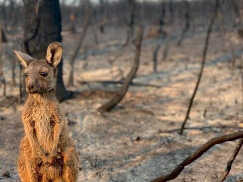 Kangaroo Joey in burnt out bushland