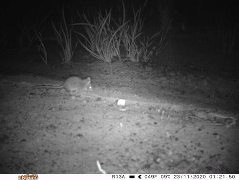 Black and white image of a small mouse-like Kangaroo Island Dunnart  seen running along the ground at night