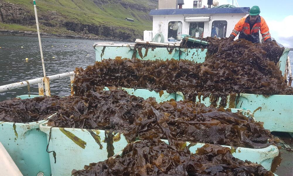 Kelp piled high on a boat in the water