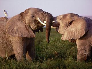 Elephants play fight in Kenya