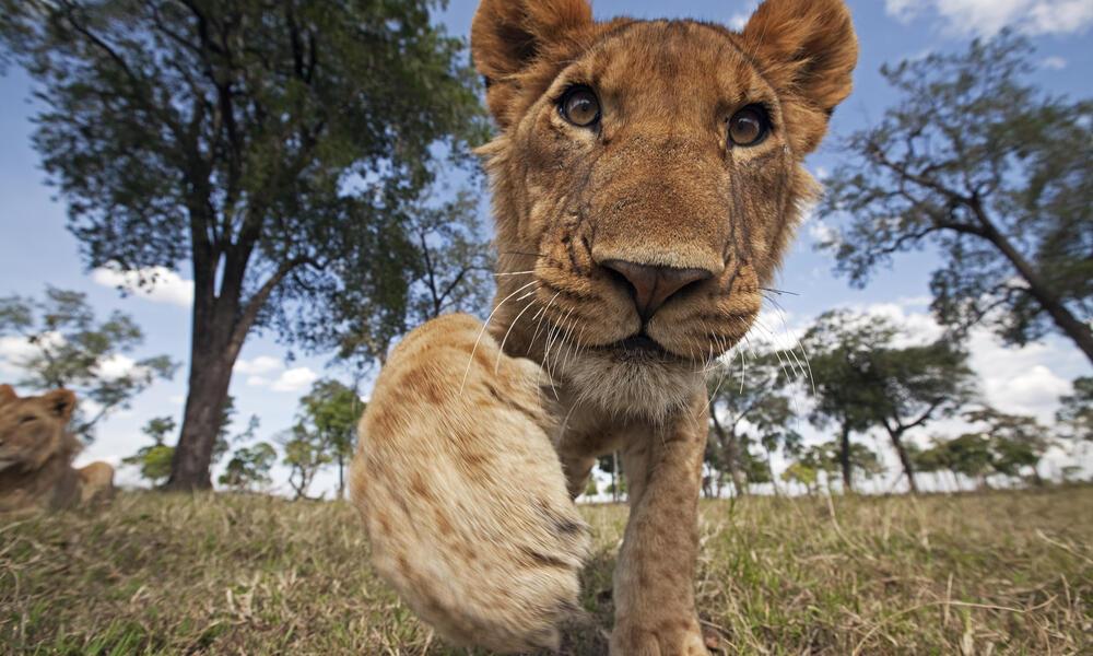 Curious Juvenile Lion