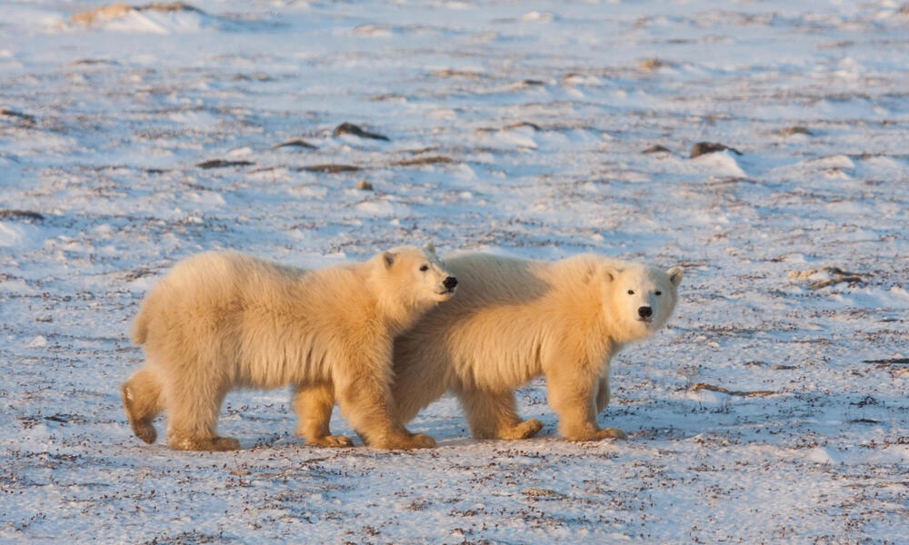 Two polar bears walking
