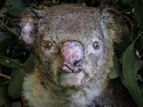 A koala injured in a bushfire.