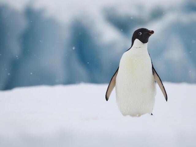 Portrait of Adelie penguin