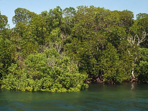 A mangrove forest in Kenya