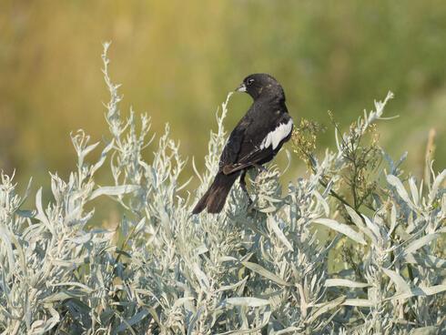 lark bunting sitting on a bush