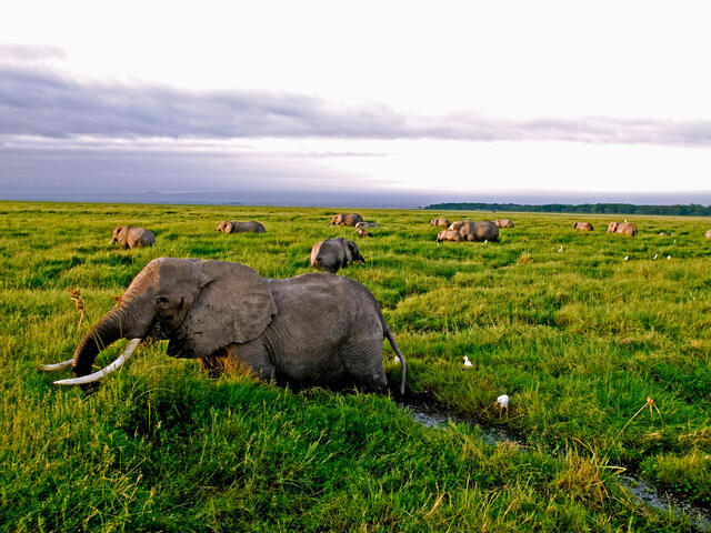 African Elephant Herd Feeding