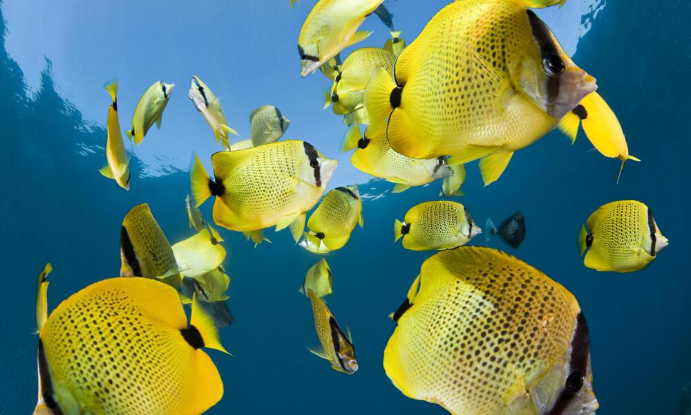 lemon butterfly fish