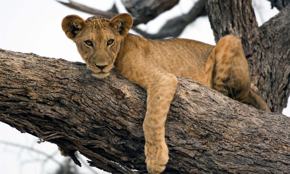 lion in tree in Selous