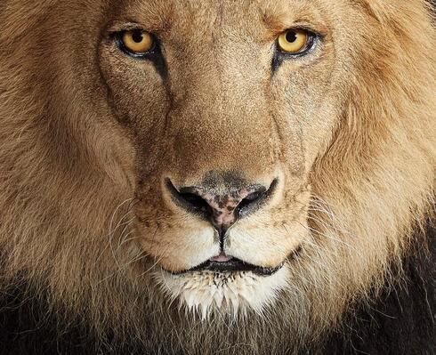 Close up of male lion's face