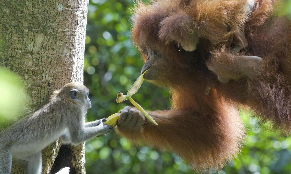 Long tailed macaque and Sumatran orangutan