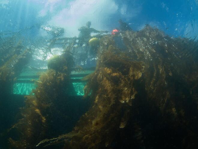 Lines of seaweed underwater as seen from above