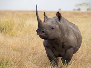 A rhino standing in a field