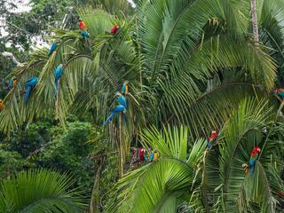 Macaws Amazon, Peru - Rainforest