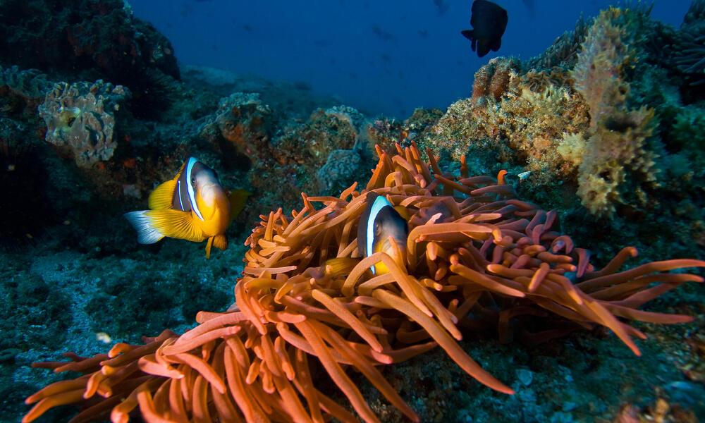 Maldives Clown Fish