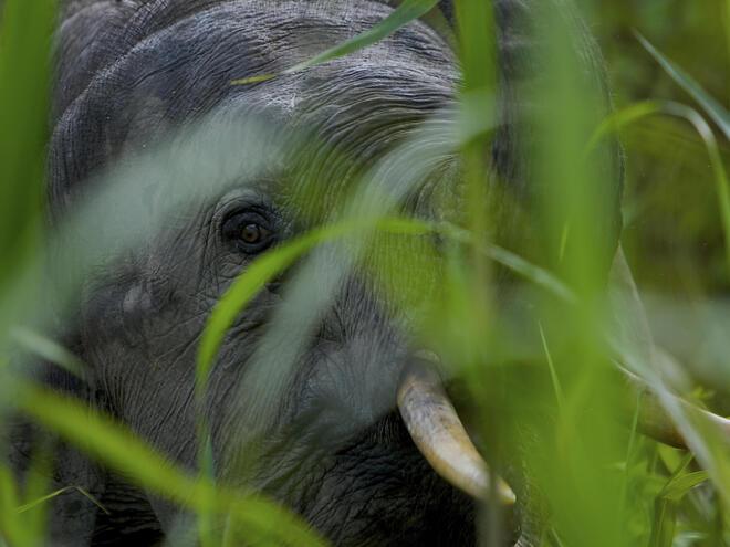 Male Borneo pygmy elephant