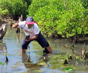 Man planting mangroves