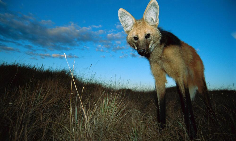 Maned wolf in Brazil