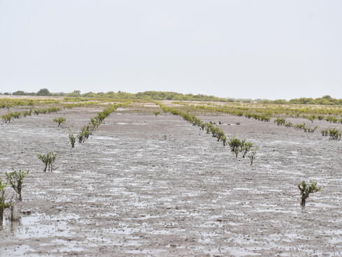 Mangroves in the early stages of growth