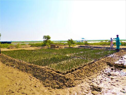 A field of mangroves grows