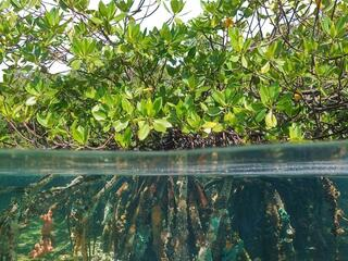 Mangrove with roots underwater