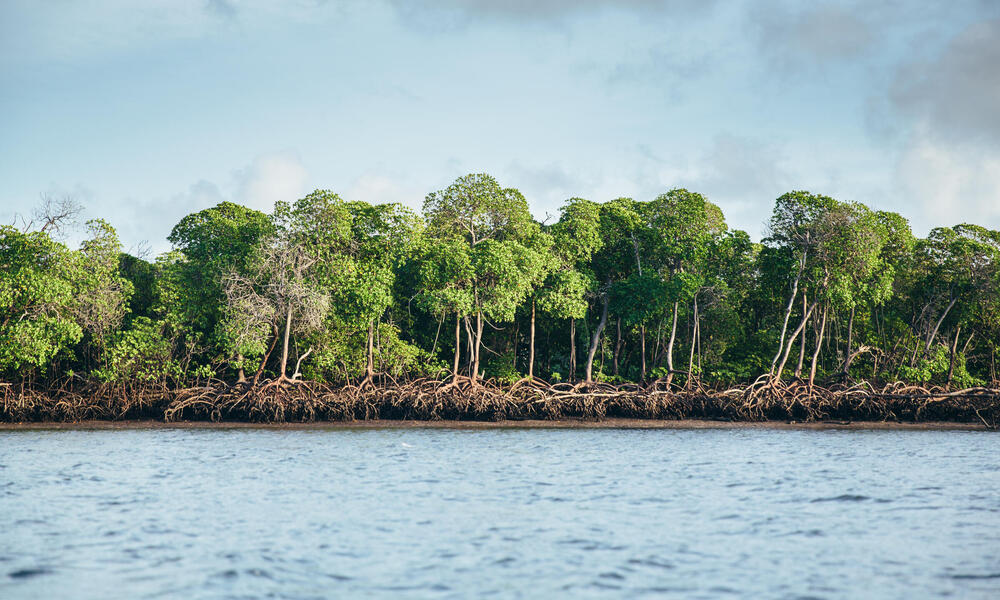 A view of mangroves along the coast from the water